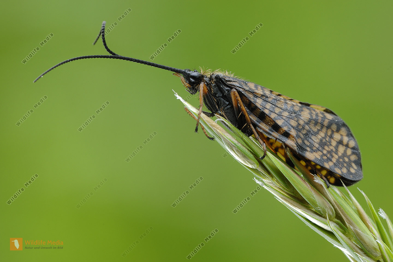 Köcherfliege Phryganea bipunctata