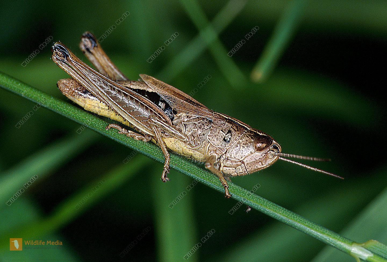 Nachtigallgrashüpfer Chorthippus biguttulus