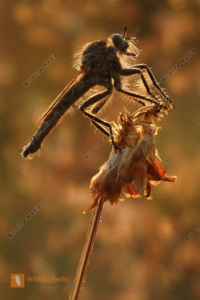Schlichte Raubfliege Machimus rusticus