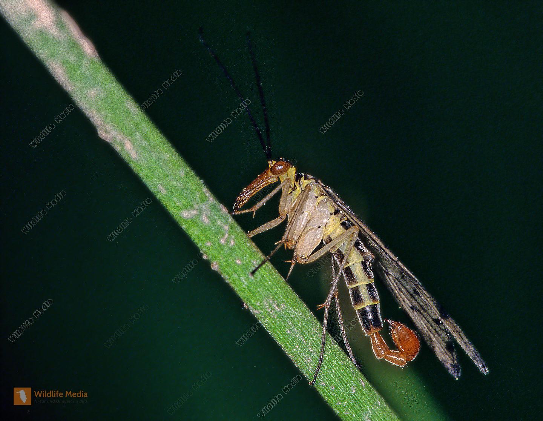 Skorpionsfliege-Panorpa-communis-Männchen