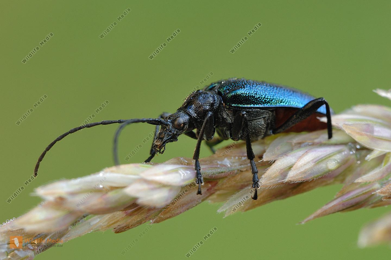 Blaubock Carilia virginea