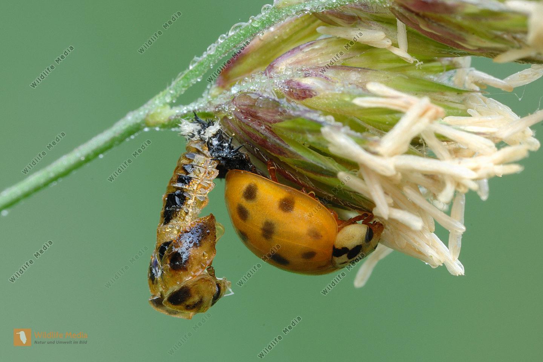 Marienkäfer Coccinellidae