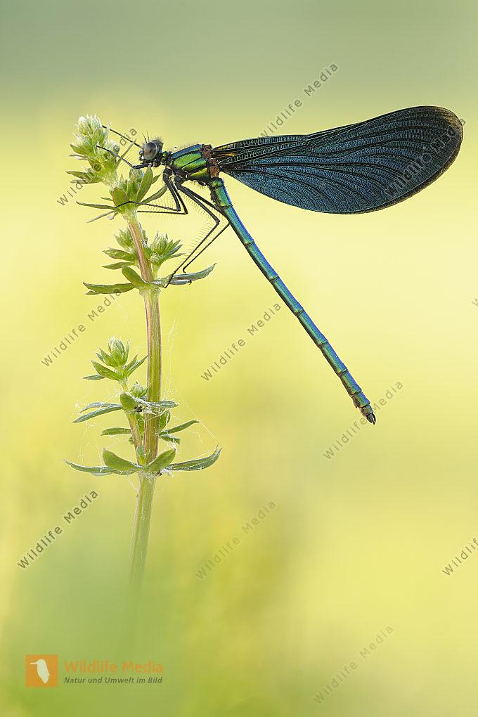 Blauflügel Prachtlibelle Calopteryx virgo