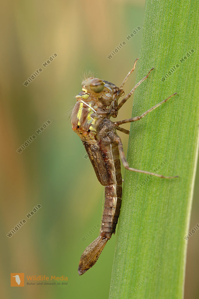 Frühe Adonisjungfer Pyrrhosoma nymphula