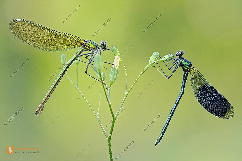 Gebaenderte Prachtlibelle Calopteryx splendens