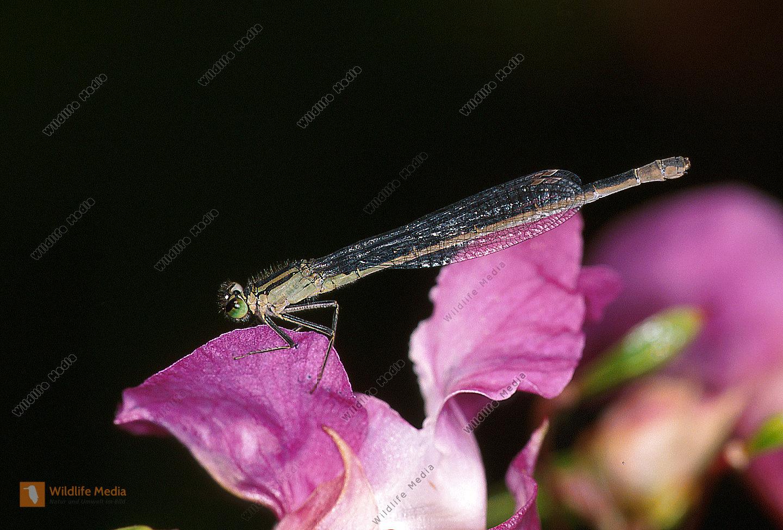 Gemeine-Federlibelle-Platycnemis-pennipes