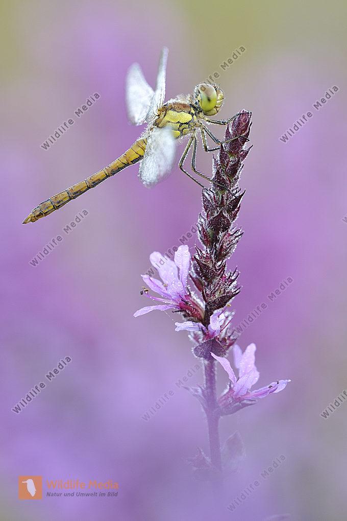 Große Heidelibelle Sympetrum striolatum