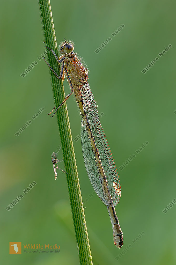 Große-Pechlibelle-Ischnura-elegans