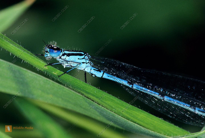 Hufeisenazurjungfer-Coenagrion-puella