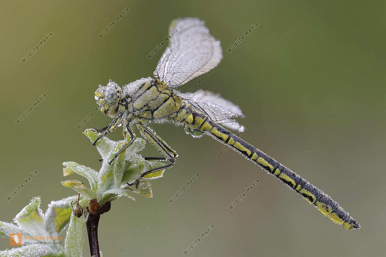 Westliche Keiljungfer Gomphus pulchellus
