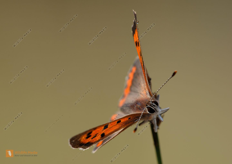 Kleiner Feuerfalter Lycaena phlaeas
