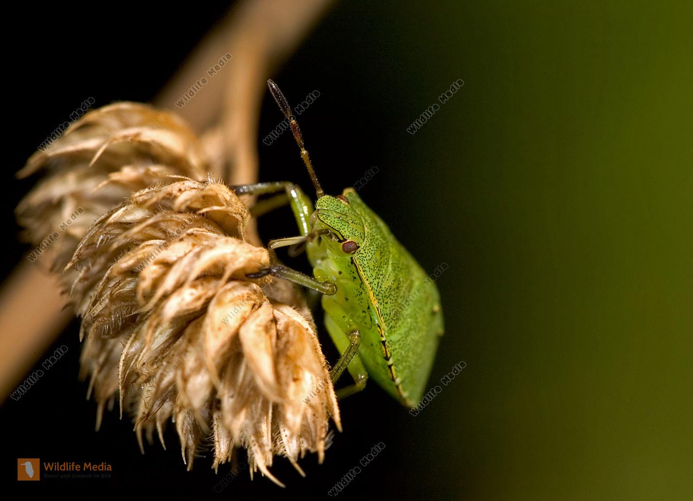Grüne-Stinkwanze-Palomena-prasina