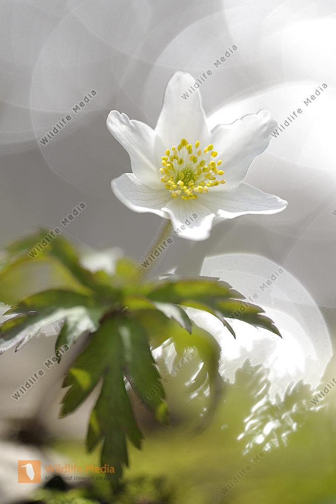Buschwindröschen Anemone nemorosa