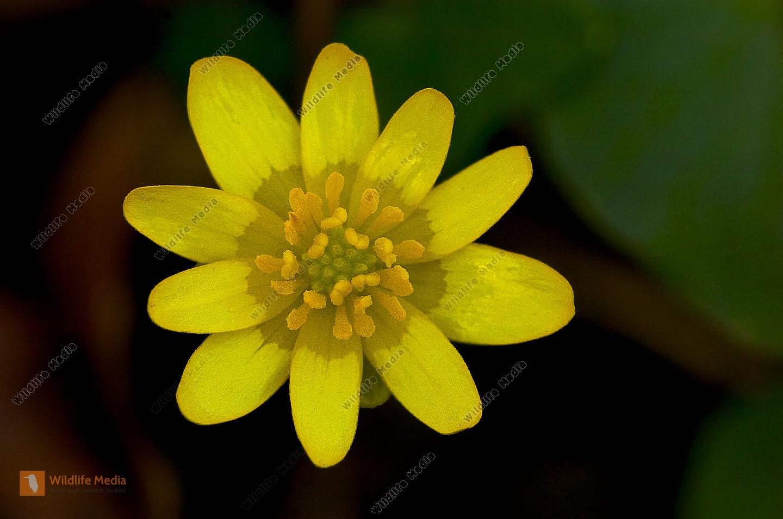 Scharbockskraut Ranunculus ficaria
