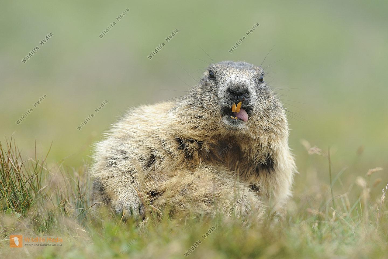 Alpenmurmeltier Marmota marmota