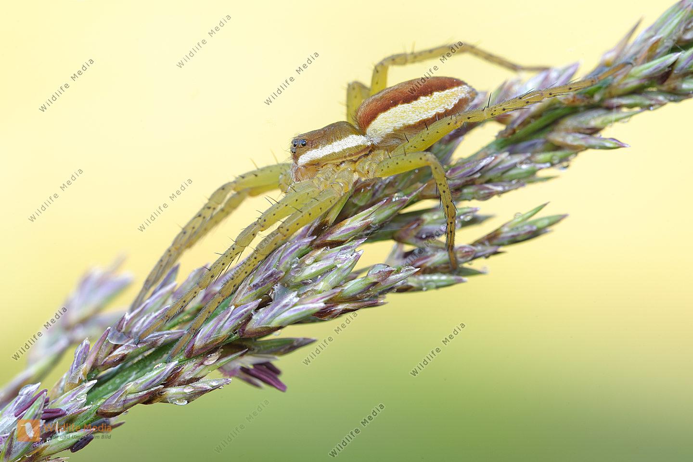 Gerandete-Jagdspinne-Dolomedes-fimbriatus