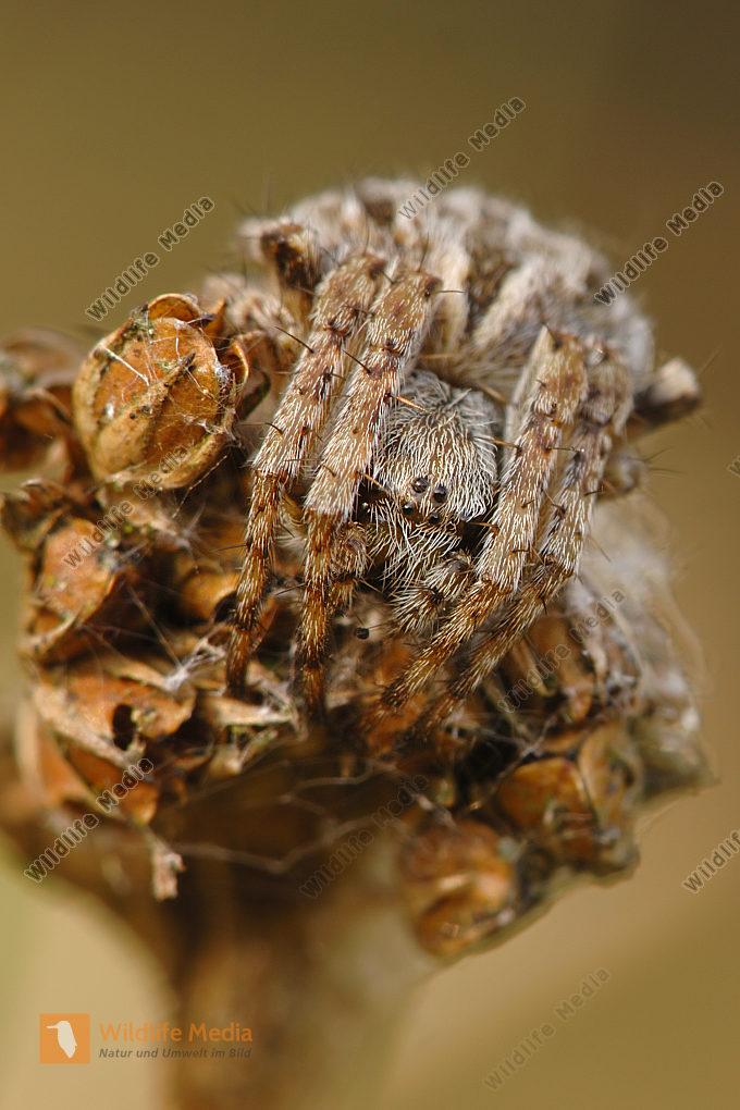 Körbchenspinne Agalenatea redii
