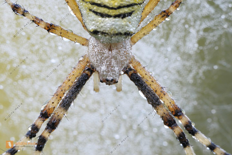 Wespenspinne-Argiope-bruennichi