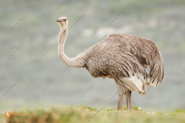 Afrikanischer Strauß Struthio camelus