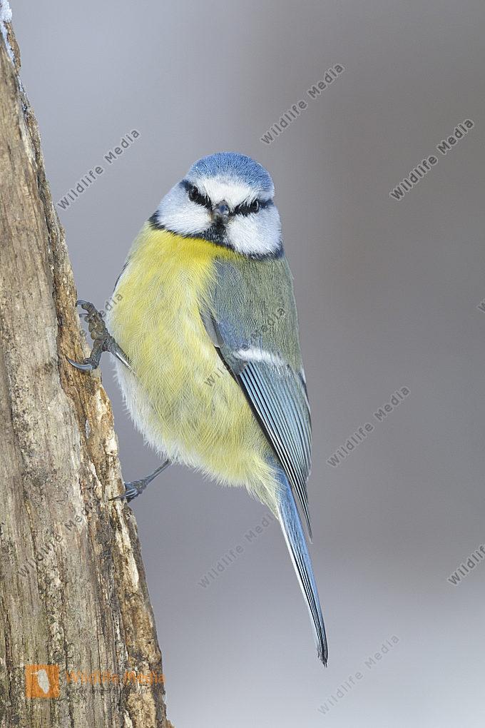 Blaumeise Parus caeruleus