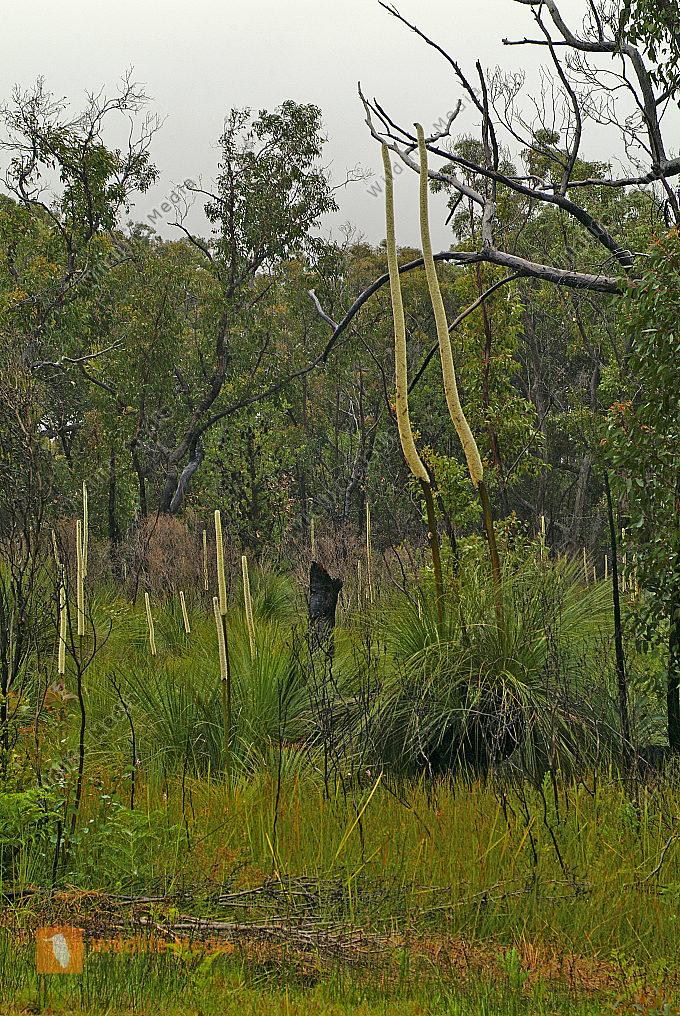 Australien Grassbaum mit Blütenstand