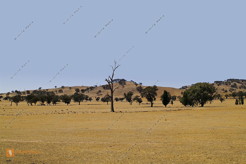 Australien trockenes Weideland