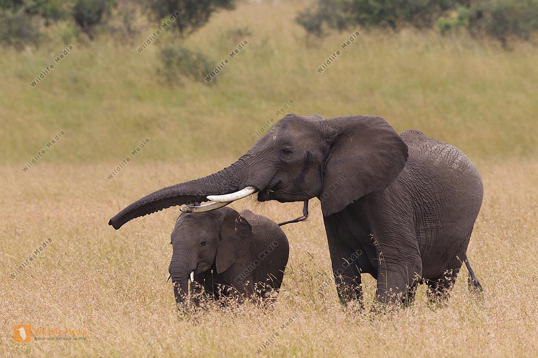Afrikanischer Elefant mit Jungtier