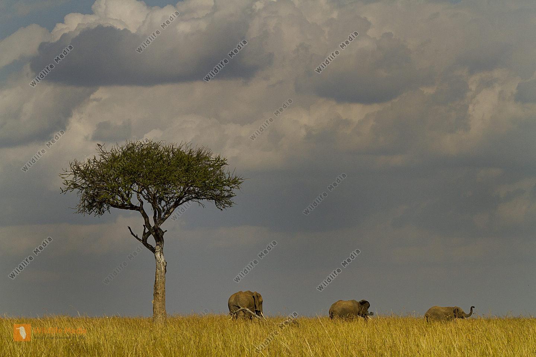 Afrikanischer Elefant mit Baum in der Savanne vor herannahendem Gewitter