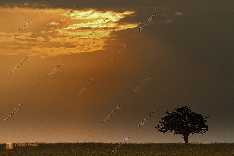 Baum im Morgenlicht in der Savanne