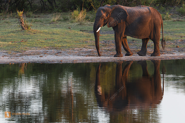 Afrikanischer Elefant in einer Bucht im Modumo NP