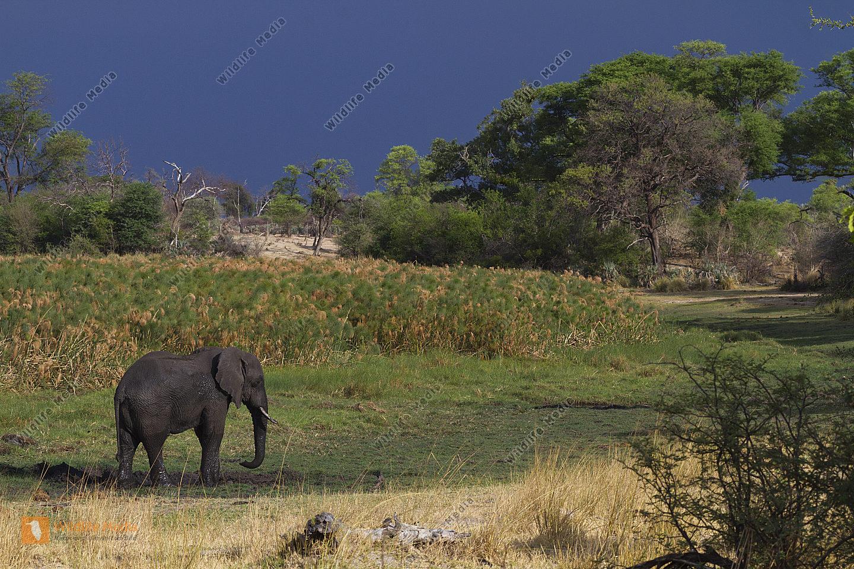 Afrikanischer Elefant bei der Hautpflege
