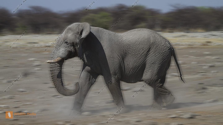 Afrikanischer Elefant auf dem Weg zur Wasserstelle