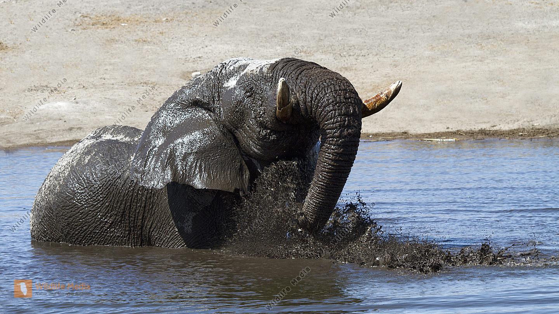 Afrikanischer Elefant im Wasser