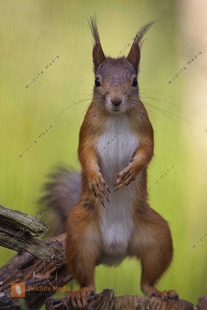 Eichhörnchen aufrecht stehend