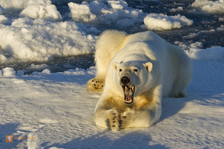 Eisbär gähnend