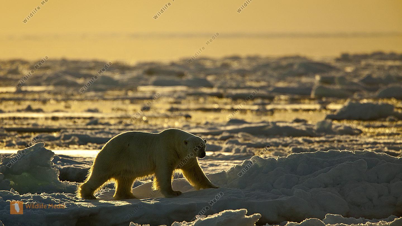 Eisbär im Gegenlicht