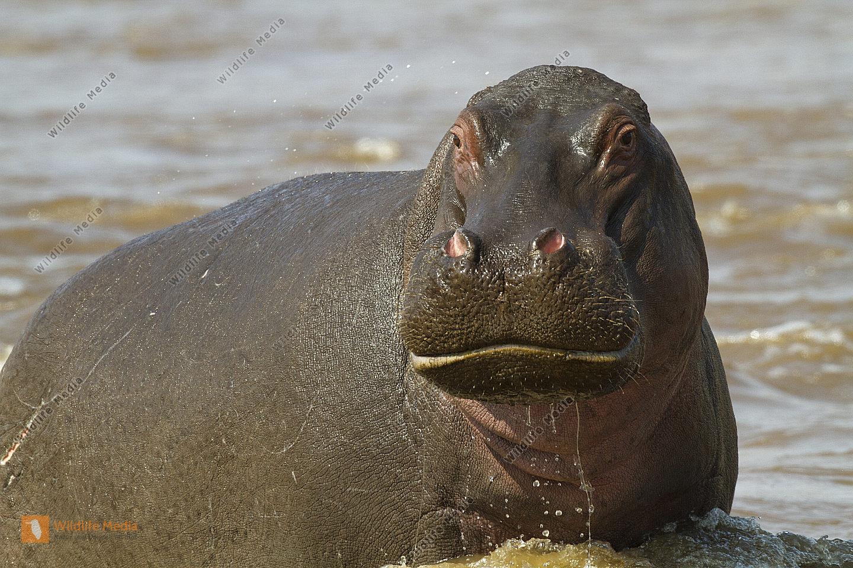 Flusspferd angriffslustig