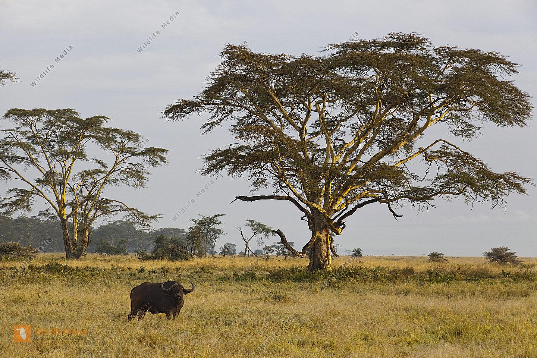 Kaffernbüffel am Lake Nakuru