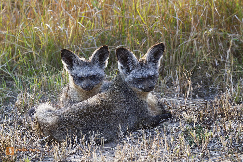 Löffelhund Paar im Gegenlicht