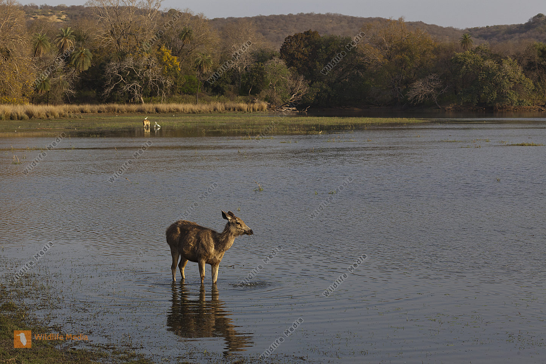 Sambar Hirschkuh im See