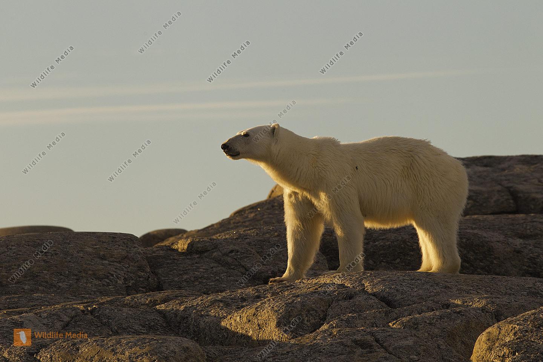 Eisbär steht auf Felsen und nimmt Witterung auf