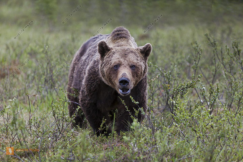 Braunbär Alttier