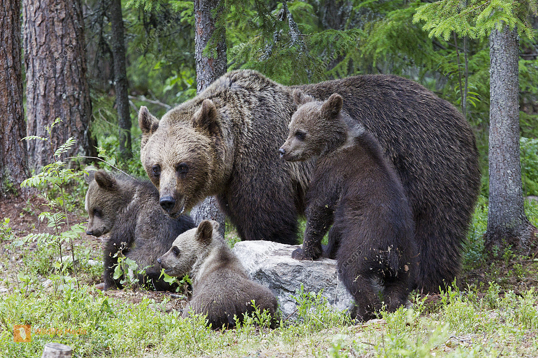 Braunbär Weibchen mit Jungtieren