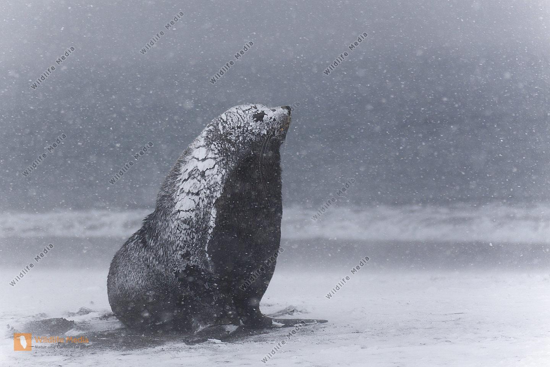 Antarktischer Seebär