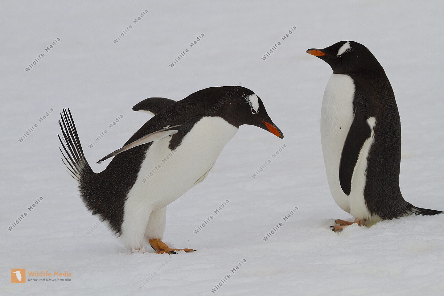 Eselspinguin-Paarung