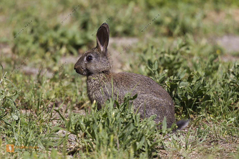 Kaninchen auf Nahrungssuche