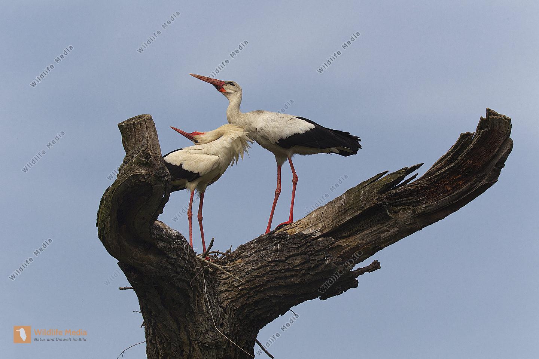 Storchen-Paar