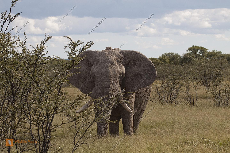 Afrianischer Elefant