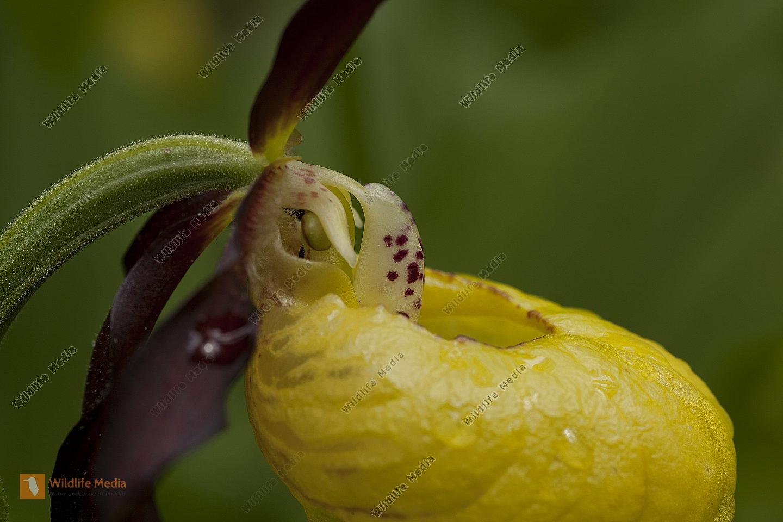 Gelber Frauenschuh-Detail