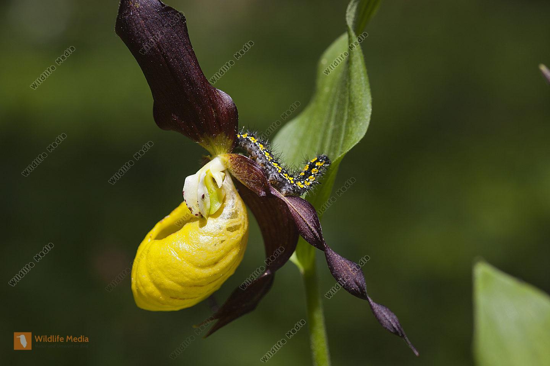 Gelber Frauenschuh mit Schönbär-Raupe